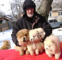 Puppies of a chow-chow for export I sell