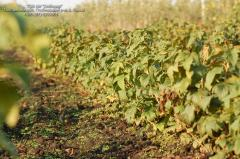 Saplings of berry bushes