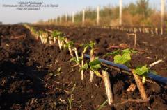 Currant saplings. Currant saplings in the Poltava