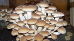 Miceliu de ciuperci