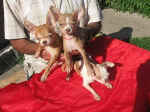 Puppies of a chihuahua for export I sell