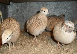 Compound feed for quails star
