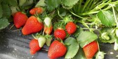 Saplings of strawberry of Frigo, seedling of