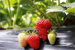 Strawberry saplings, strawberry, fresh strawberry,