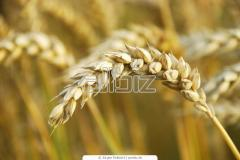 Seeds of winter wheat Antonovka wholesale