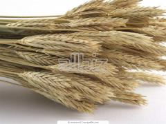 Barley seeds Lurana wholesale Ukraine