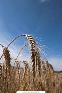 Seeds of Summer Barley Commodore wholesale Ukraine