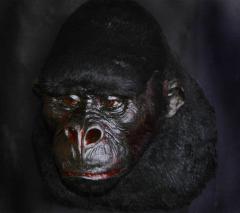 Effigy Gorilla Full-growth effigies Models of