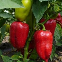 Семена перца сладкого сорт Лумина, продажа