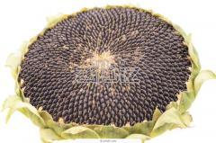 Семена подсолнечника Жалон купить оптом Украина