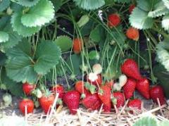 Саджанці клубніки Роксана Roxana. Врожай до 46