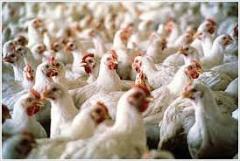 لقاحات للوقاية من المرض في الطيور
