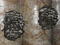 Мицелий грибов вешенки.Плодоносящие блоки вешенки.