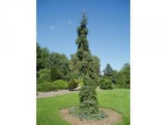 Ель сербская Пендула / Picea omorika 'Pendula' куб
