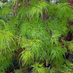 Клен дланевидный/веерный/ Acer palmatum Emerald