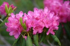 Рододендрон понтийский / Rhododendron Ponticum С