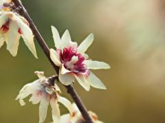 Химонант ранний / Chimonanthus praecox С5 40-60