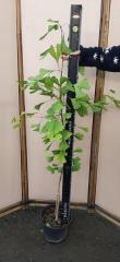 Seedlings of ginkgo biloba