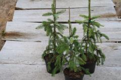 Ель сербская Пендула / Picea omorika 'Pendula' С5