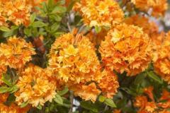 Рододендрон микстум (Азалия японская) Гейша Оранж