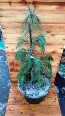 Сосна Веймутова Пендула / Pinus strobus Pendula С