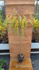 Верба козяча 'Pendula' / Salix caprea 'Pendula'