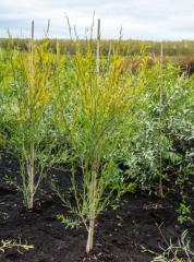 Ива Ледебура / Верба Ледебура / Salix ledebouriana