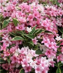 Вейгела цветущая пестролистная