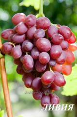 Grapes saplings Libya
