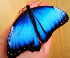 Morph - a live tropical butterfly.