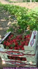 Красная ягода клубники сорта Хоней, Альбион. Новая