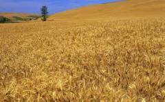 Ячмень зерно, опт, мелкий опт,  Зерновые, бобовые