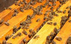 Пчело - пакеты -  степная украинская порода...
