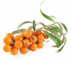 The sea-buckthorn frozen