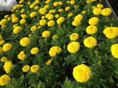 Marigold, marigold, saplings, in pots, seedling,