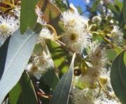 Эвкалипт шаровидный, лист