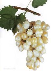 Виноград Зелений Італія