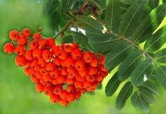 European mountain ash, saplings, wholesale,