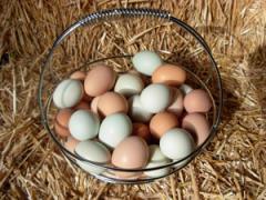 Яйца цесарки. Цесарки Киев