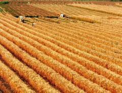 Пшеница купить оптом