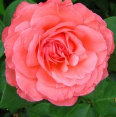 Розы бордюрные, Роза Пантер Роз, Роза Розовая