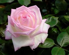 Розы бордюрные, Роза Принцесса Монако