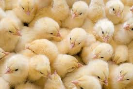 Chickens of a broiler