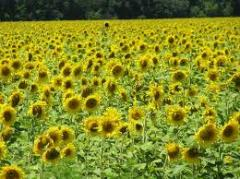 Sunflower seeds grade Diamond