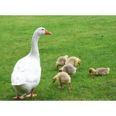 Daily goose Danish Legart, Large gray (Myrgorod),
