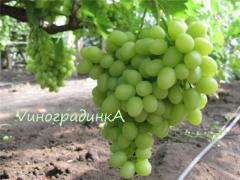 Саженцы винограда сорта Аркадия