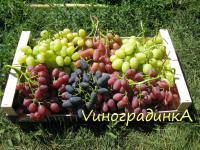 Саженцы винограда элитных столовых сортов