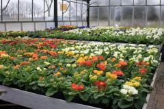 Petunia, surfiniya, Ageratum, Lobelia for a garden