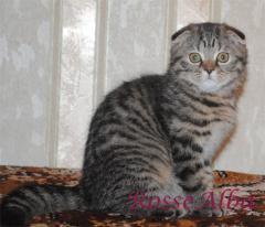 RosseAlba nursery of the Scottish cats