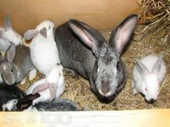 Compound feed for rabbits on the Ternopil region